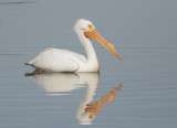 American White Pelican, breeding plumage