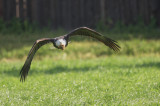 Bald Eagle, carrying grass