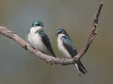 Tree Swallows, pair