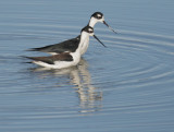 Black-necked Stilts, pair