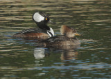 Hooded Merganser, pair