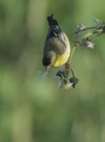 Lesser Goldfinch, male gathering next material