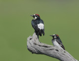 Acorn Woodpeckers, pair