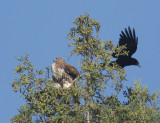 Red-tailed Hawk, immature, with American Crow