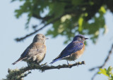 Western Bluebirds, pair