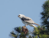 White-tailed Kite with killed rodent