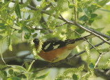 Black-headed Grosbeak, male