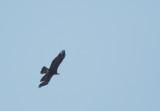 Golden Eagle, adult