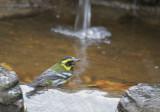 Townsend's Warbler, male, 08-Jan-2020