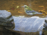 Townsend's Warbler, female, 11-Jan-2020