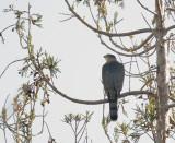 Cooper's Hawk, 31-Jan-2020