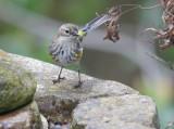 Yellow-rumped Warbler, Myrtle, 25-Jan-2020