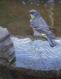 Yellow-rumped Warbler, Audubon's, 04-Feb-2020
