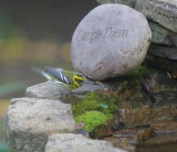 Townsend's Warbler, female, 04-Feb-2020