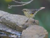 Yellow-rumped Warbler, Myrtle, 09-Feb-2020