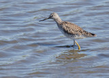 Greater Yellowlegs, partially molted