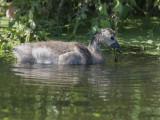 Canada Goose, gosling