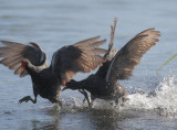 Common Gallinules, fighting