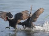Common Gallinules, fighting