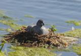 Pied-billed Grebe, nesting