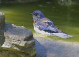 Western Bluebird, male bathing