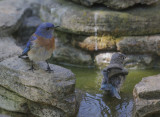 Western Bluebird, adult male and juvenile