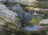 Western Bluebirds, juveniles