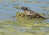 Pied-billed Grebe, on nest