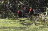 Common Gallinules, pair, bonding