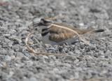 Killdeer, on nest