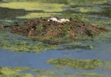 Pied-billed Grebe, nest, five eggs