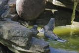 Western Bluebirds, adult female and three juveniles