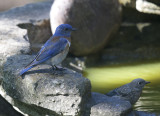 Western Bluebirds, adult male and juvenile