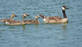 Canada Geese, adult with three chicks