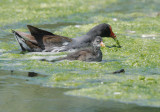 Common Gallinules, adult with chick