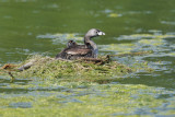 Pied-billed Grebes, adult and two chicks