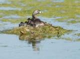 Pied-billed Grebes, adult and chicks