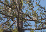 Two White-tailed Kites, juveniles
