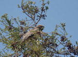 Red-shouldered Hawk, juvenile