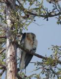 White-tailed Kite, juvenile (mystery?)