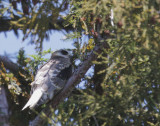 White-tailed Kite, juvenile