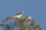 White-tailed Kites, juveniles
