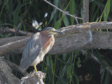 Green Heron, adult or second year