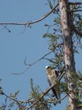 White-tailed Kite, juvenile, 26/7/20