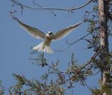 White-tailed Kite, juvenile, flying