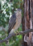 Cooper's Hawk, 02-Aug-2020