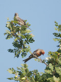 House Finches, pair, 08-Aug-2020