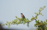Western Bluebird, male, 8/8/20