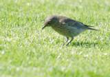 Western Bluebird, juvenile, 8/8/20
