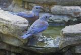 Western Bluebirds, males, 14-Aug-2020